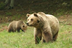 «Όχι» του ΣτΕ σε αποζημίωση συγγενών κτηνοτρόφισας που την πάτησε αρκούδα!