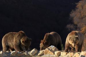 Αρκούδες ψάχνουν το ιδανικό σημείο για… ύπνο!