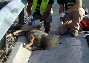 Καστοριά: Νεκρή νεαρή λύκαινα σε τροχαίο