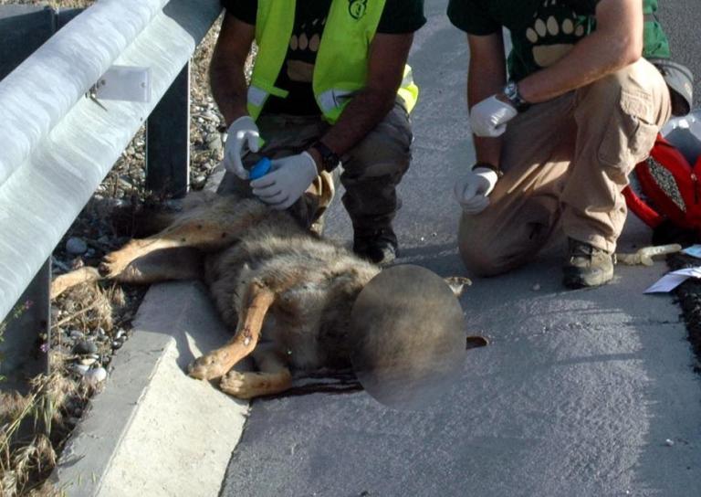 Καστοριά: Νεκρή νεαρή λύκαινα σε τροχαίο | Newsit.gr