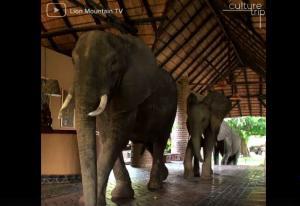 Οικογένεια ελεφάντων επισκέπτεται το ίδιο ξενοδοχείο κάθε βράδυ για να δειπνήσει!