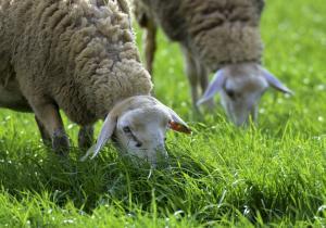 Κρήτη: Βρήκε σφαγμένα τα 150 πρόβατά του!