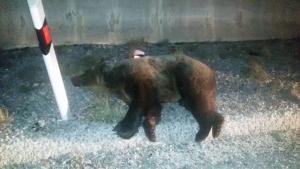 Κοζάνη: Φορτηγό χτύπησε και σκότωσε αρκούδα – Οι εικόνες στο σημείο του τροχαίου [pics]
