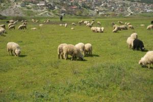 Λέσβος: Στα τάρταρα οι τιμές των αμνοεριφίων –  Μέτρα για ζωονόσο της ευλογιάς!