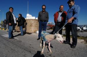 ΕΛΓΑ: Αύριο οι αποζημιώσεις σε 1.081 δικαιούχους κτηνοτρόφους