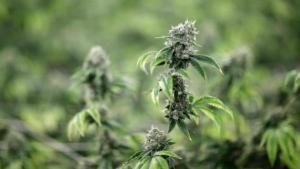 Ο στρατός δέχεται πλέον και… χρήστες μαριχουάνας