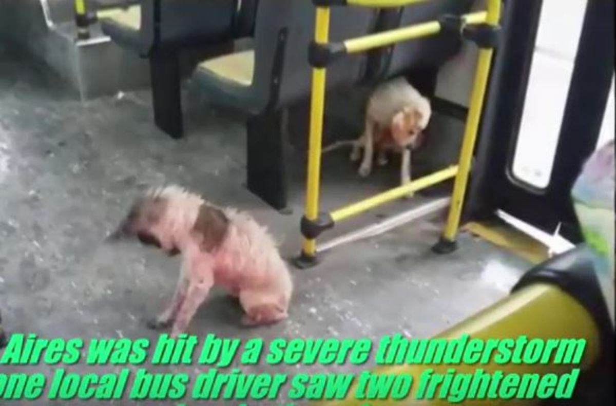 Οδηγός λεωφορείου βλέπει σκυλιά να ξεπαγιάζουν, παραβιάζει κανόνες και τα ανεβάζει πάνω