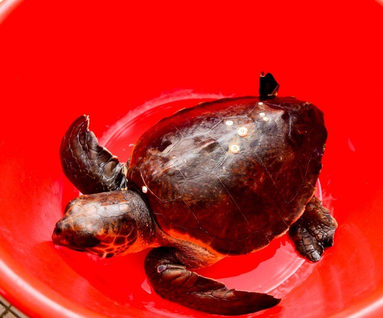 Ρόδος: Συνήλθε, πήρε βάρος και επιστρέφει στο φυσικό της περιβάλλον – Απελευθερώνεται η θαλάσσια χελώνα!
