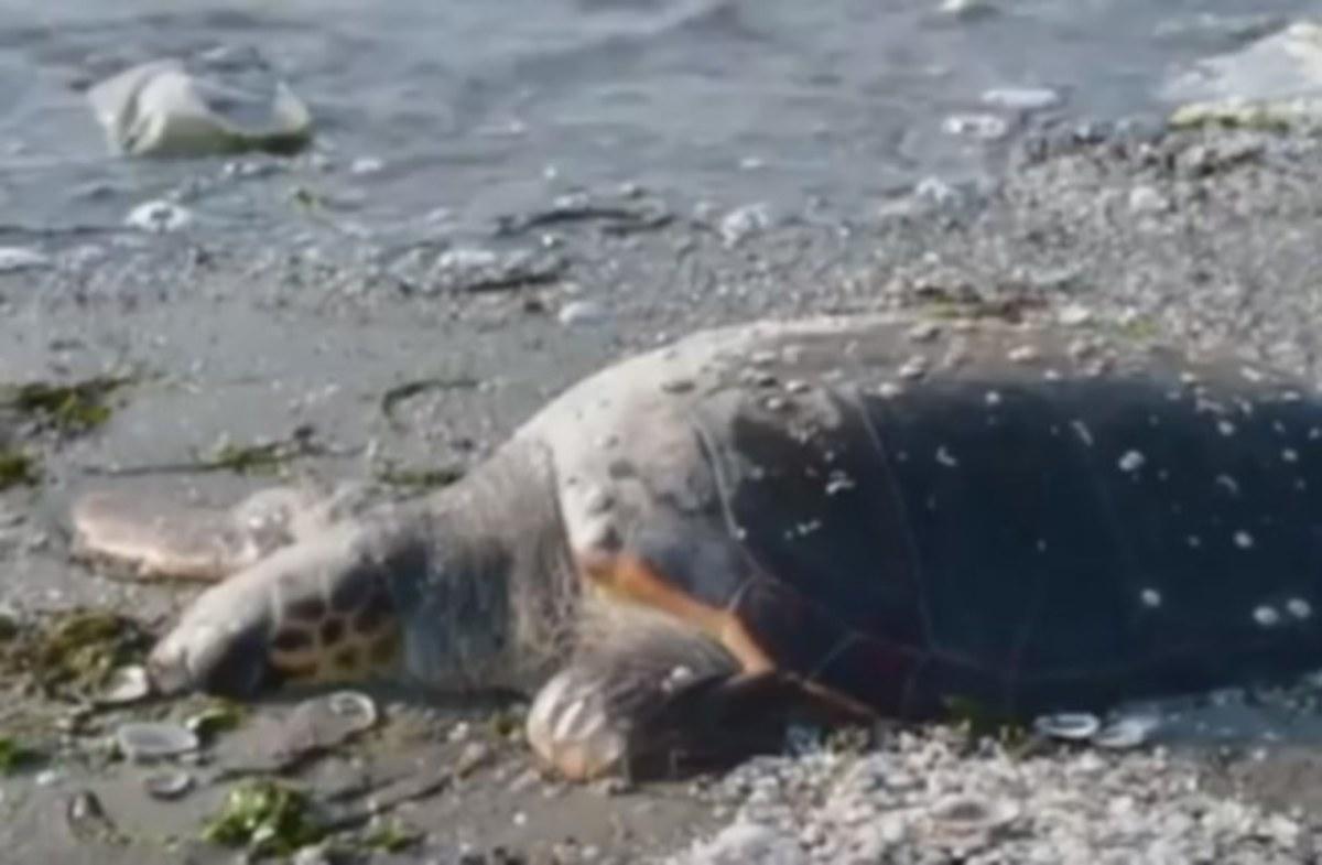 Αργολίδα: Η θάλασσα ξέβρασε ακόμα μία νεκρή χελώνα – Οι εικόνες στο σημείο [vid]