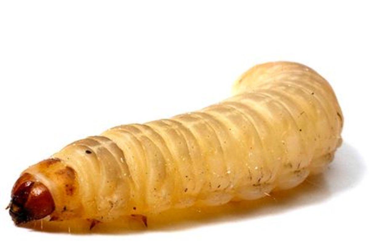 Έντομο τρώει το πλαστικό! Απίστευτη ανακάλυψη