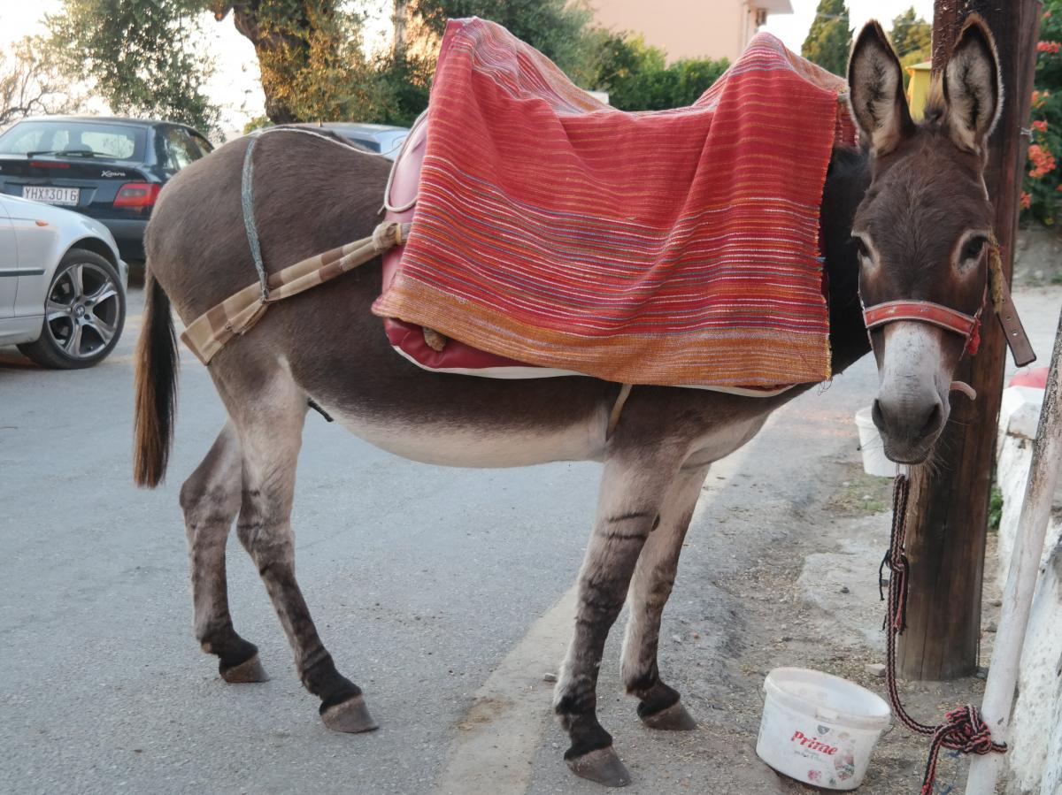 Κρήτη: Το γαϊδουράκι λύγισε από το βάρος που κουβαλούσε! Στο νοσοκομείο ο αναβάτης του