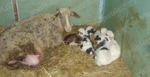Προβατίνα γέννησε… πεντάδυμα στην Κυλλήνη