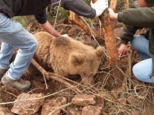 Έσωσαν αρκούδα που είχε παγιδευτεί σε παράνομη θηλιά στην Κοζάνη