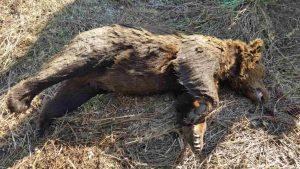 Φλώρινα: Σκότωσαν την αρκούδα που βλέπετε – Τι διαπιστώθηκε από την αυτοψία [pic]