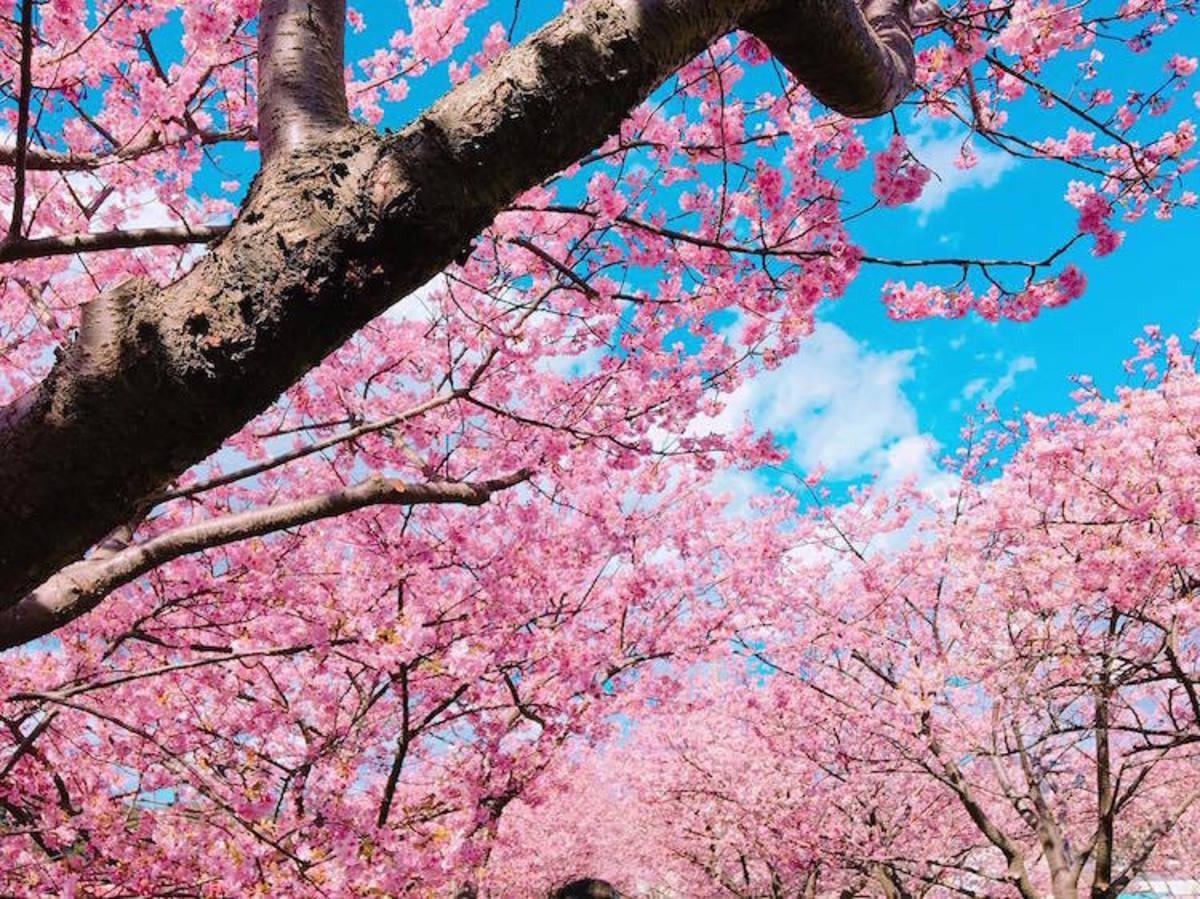 Οι κερασιές υποδέχτηκαν πρόωρα την Άνοιξη – Μαγικές εικόνες [pics]