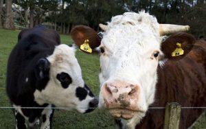 Κρούσμα της νόσου των τρελών αγελάδων στη Σκοτία