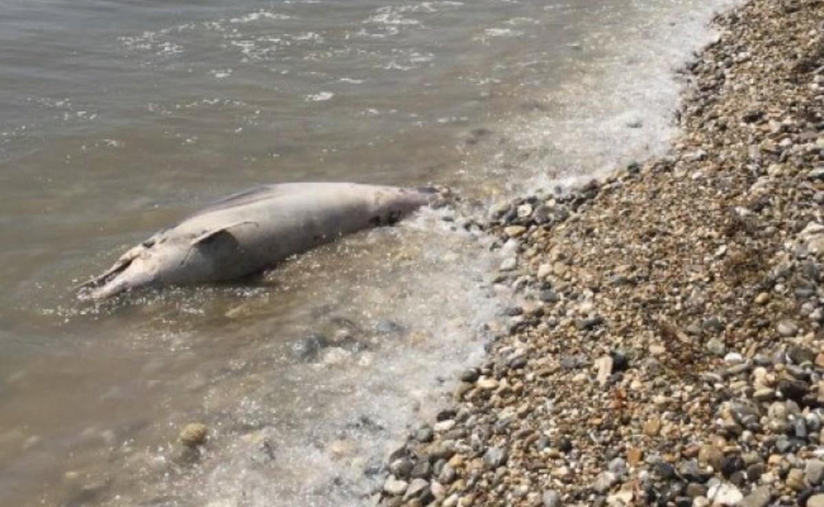 Ναύπλιο: Ξεβράστηκε δεύτερο δελφίνι με ίχνη βασανισμού – Νεκρή και μια καρέτα καρέτα [pics]
