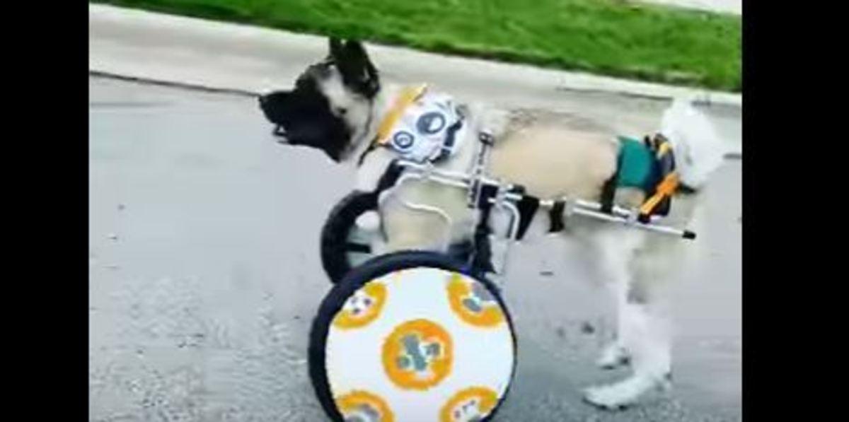 Υπέροχο! Έφτιαξε καροτσάκι για τον σκύλο της που δεν έχει μπροστινά άκρα! [vid]