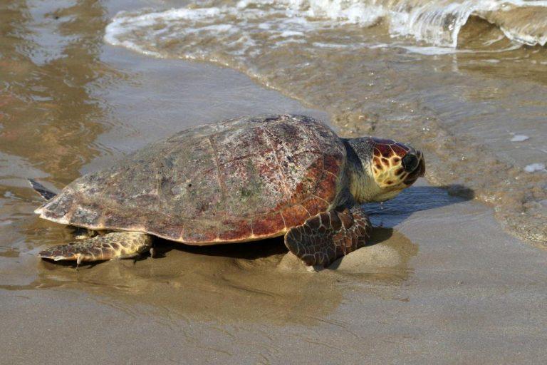 Επιστρέφει υγιής στη θάλασσα η χελώνα που είχε καταπιεί αγκίστρι
