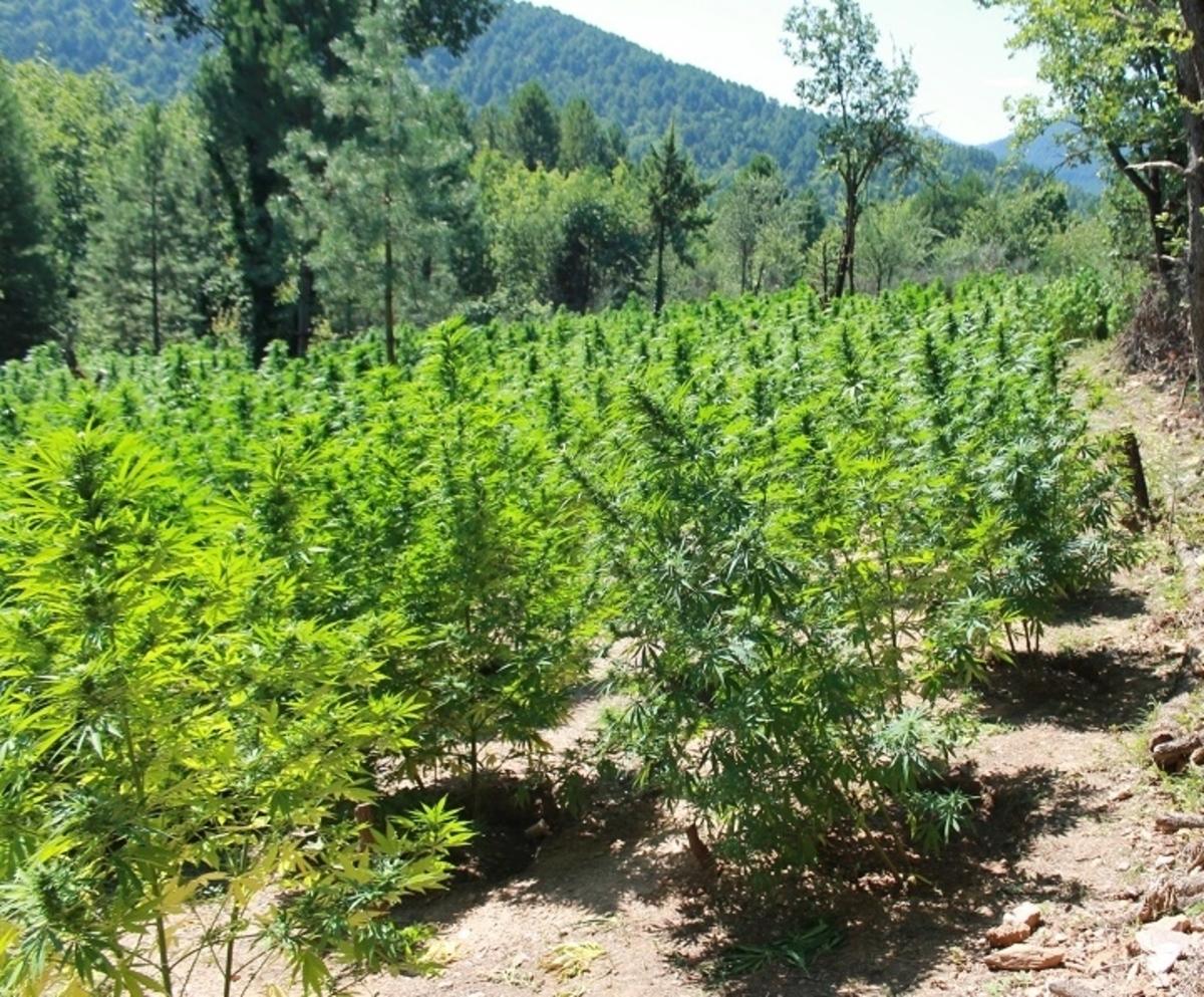 Ένα δάσος χασισόδενδρα ξερίζωσαν οι αστυνομικοί στην Κορινθία – ΦΩΤΟ