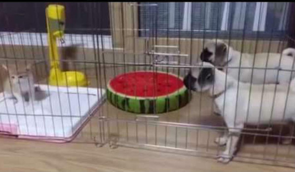 Έβαλαν σε ένα κλουβί δυο σκύλους και μια γάτα – Δεν φαντάζεστε τι έγινε! (vid)