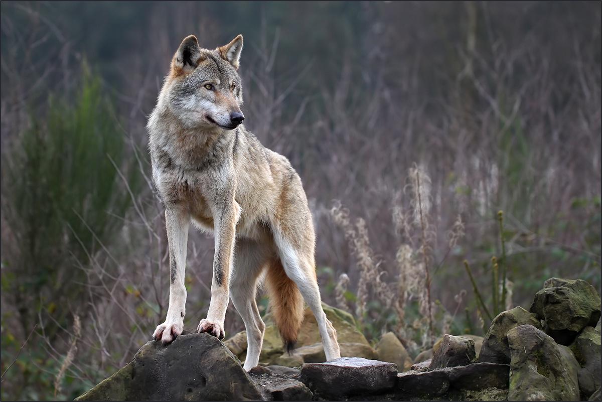 Κοζάνη: Αποκρουστικές εικόνες από νέα επίθεση λύκων! Κρύφτηκαν οι κάτοικοι στα σπίτια τους