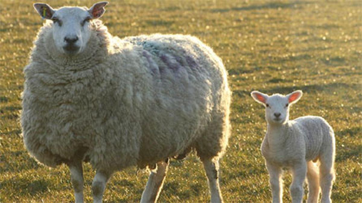 Αγρίνιο: Κτηνοτρόφος έκανε σεξ με πρόβατο και μολύνθηκε!