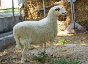Φλώρινα: Υπό εξαφάνιση τα τοπικά πρόβατα – Προβληματίζουν τα στοιχεία [pics]