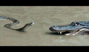 Επική μάχη ανάμεσα σε πύθωνα και αλιγάτορα – Δείτε τι έγινε! (ΒΙΝΤΕΟ)