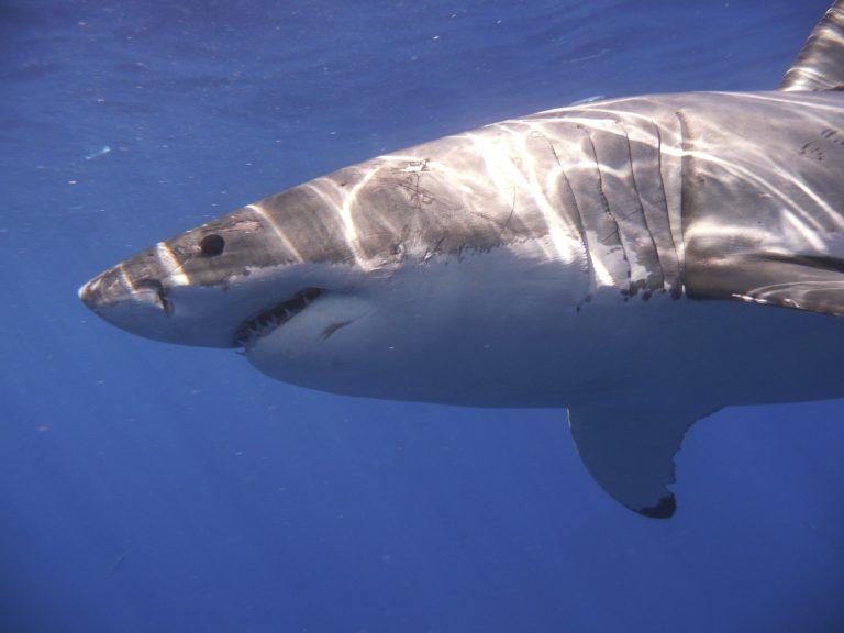 Ερυθρά Θάλασσα: Στα σαγόνια καρχαρία κολυμβητές