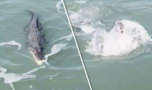 Μάχη τιτάνων! Κροκόδειλος εναντίον καρχαρία σε ποτάμι [vid]