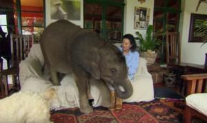 Έσωσε ελεφαντάκι και από τότε την ακολουθεί παντού [vid]