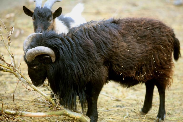 Κρήτη: Κριάρι αφηνίασε και έριξε κτηνοτρόφο σε γκρεμό! Σε κατάσταση σοκ η γυναίκα του