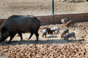 Θεσσαλονίκη: Προβλήματα στις καλλιέργειες λόγω… υπερπληθυσμού των αγριογούρουνων!