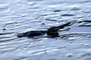 Το μαζούτ δολοφονεί ό,τι υπάρχει στην θάλασσα – Απαγορευτικό το κολύμπι για χρόνια!