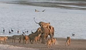 Ένας ελέφαντας εναντίον 14 λιονταριών