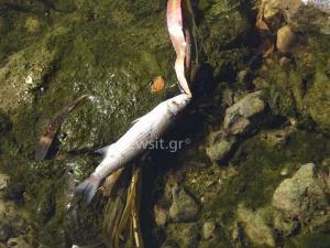 Γιατί γέμισε νεκρά ψάρια το ρέμα της Πικροδάφνης [pics]