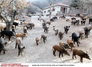 Θεσπρωτία: «Τα αγριογούρουνα έγιναν περισσότερα από τις κότες» – Προβληματισμός στα Φιλιατά!