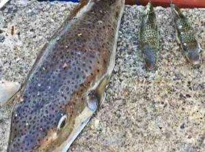 Λασίθι: Η επέλαση των λαγοκέφαλων – Οι εικόνες που προβληματίζουν ψαράδες – Οι αλλαγές που διαπιστώνουν…