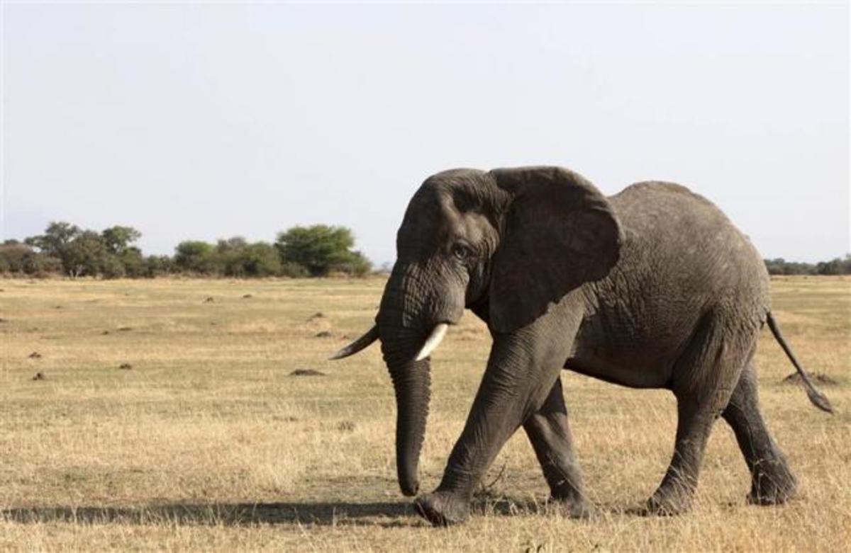 Άδεια εγκυμοσύνης για τις… ελεφαντίνες ζητούν στο Λάος