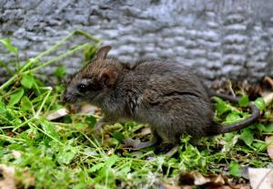 Εισαγγελική παρέμβαση για κρούσματα λεπτοσπείρωσης σε ειδικό σχολείο που γέμισε ποντίκια!