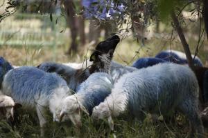 Λέσβος: Πρόσφυγες έσφαξαν πρόβατα για να τα φάνε! 5 συλλήψεις στη Μόρια