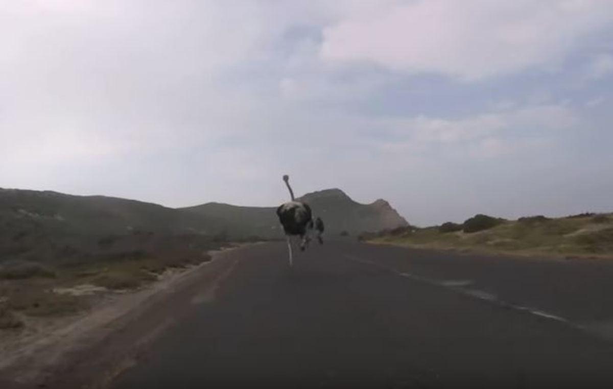 Θυμωμένη στρουθοκάμηλος κυνηγάει με μανία δύο ποδηλάτες | Newsit.gr