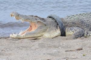 Δε φαντάζεστε πώς τη… βρίσκει αυτός ο κροκόδειλος!