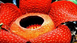 Rafflesia Arnoldii: 20 πράγματα που δεν ξέρετε για το λουλούδι – πτώμα