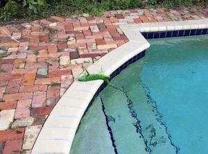 Βρέχει ιγκουάνα στην Φλόριντα!