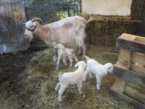 Κατσίκα… «κουνέλα» στην Καλαμάτα – Γέννησε έξι κατσικάκια! [vid]