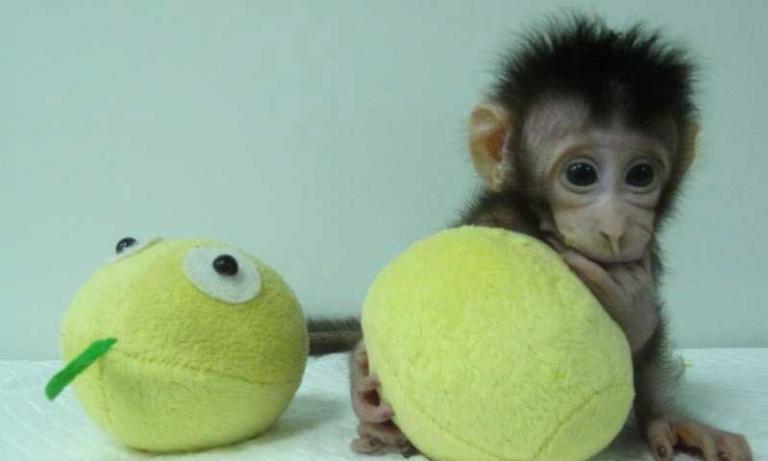 Μια ανάσα από ανθρώπινους κλώνους! Κλωνοποίησαν μαϊμούδες!