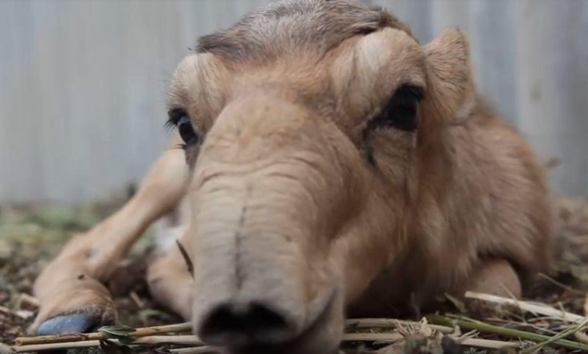 Η σπάνια ομορφιά της αντιλόπης σάιγκα | Newsit.gr
