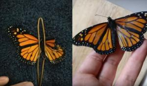 Γυναίκα έκανε εγχείρηση σε πεταλούδα που είχε σπασμένο φτερό